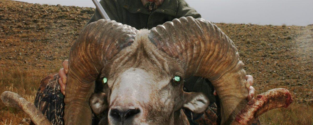 Hangai argali taken during Mongolian Hunting trip with J.Y. Jones